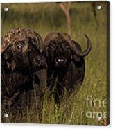 Cape Buffalo   #6884 Acrylic Print