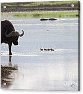 Cape Buffalo And Baby Eygptian Geese   #0375 Acrylic Print