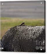 Cape Buffalo And Bird   #9873 Acrylic Print