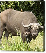 Cape Buffalo  Uganda Acrylic Print