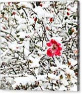 Cape Cod Beach Rose In Fresh Snow Acrylic Print
