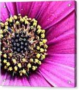 Cape Daisy Close Up Acrylic Print