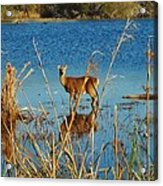 Cape Hatteras Deer In Pond 3 11/22 Acrylic Print
