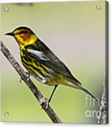 Cape May Warbler Acrylic Print
