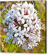 Capitate Valerian Near Savage River Cabin In Denali Np-ak Acrylic Print
