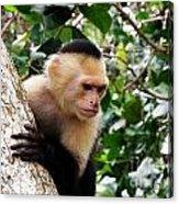 Capuchin Monkey Acrylic Print