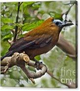 Capuchinbird Acrylic Print
