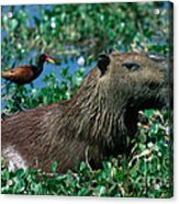 Capybara And Jacana Acrylic Print