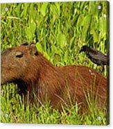 Capybara And Smooth Billed Ani Acrylic Print