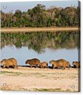 Capybara By A Lake Acrylic Print