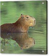 Capybara Wading Pantanal Brazil Acrylic Print