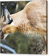Caracal About To Jump Acrylic Print