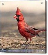 Cardinal - Male 2 Acrylic Print