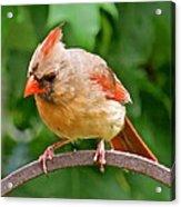 Cardinal 103 Acrylic Print