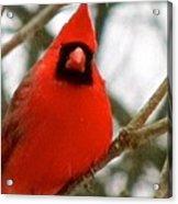 Cardinal 104 Acrylic Print