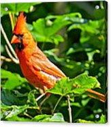 Cardinal 119 Acrylic Print