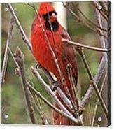 Cardinal 123 Acrylic Print