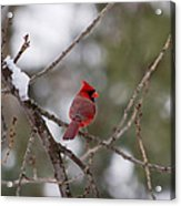 Cardinal - A Winter Bird Acrylic Print