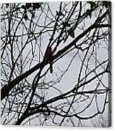 Cardinal Amongst The Branches Acrylic Print