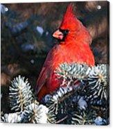 Cardinal And Evergreen Acrylic Print