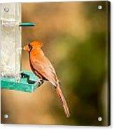 Cardinal Bird At Bird-feeder Acrylic Print