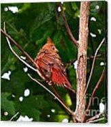 Cardinal Bird Baby Acrylic Print