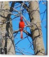 Cardinal Bird  Acrylic Print