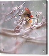 Cardinal - Bird - Lady In The Rain Acrylic Print