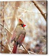 Cardinal Birds Female Acrylic Print