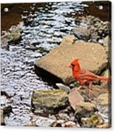 Cardinal By The Creek Acrylic Print