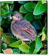 Cardinal Chick Acrylic Print
