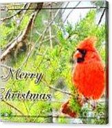 Cardinal Christas Card Acrylic Print