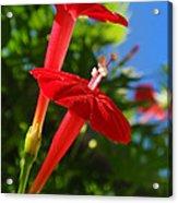 Cardinal Climber Flowers Acrylic Print