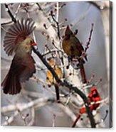 Cardinal Colony Acrylic Print