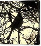 Cardinal Contour Acrylic Print