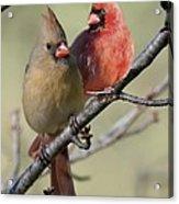Cardinal Couple Acrylic Print