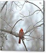 Cardinal Delight Acrylic Print