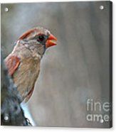 Cardinal Eye Acrylic Print