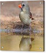 Cardinal Female Acrylic Print