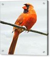 Cardinal I Acrylic Print