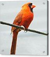 Cardinal II Acrylic Print