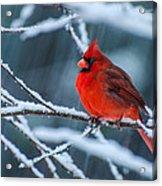 Cardinal In A Storm  Acrylic Print by John Harding Photography