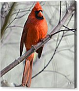 Cardinal In A Tree Acrylic Print by Susan Leggett