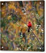 Cardinal In Autumn Acrylic Print