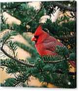 Cardinal In Balsam Acrylic Print