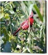 Cardinal In Bush I Acrylic Print