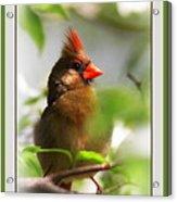 Cardinal In Dogwood Acrylic Print