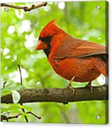 Cardinal In Red Acrylic Print