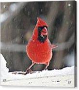 Cardinal In Snowstorm Acrylic Print