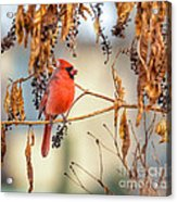 Cardinal In The Pokeberries Acrylic Print